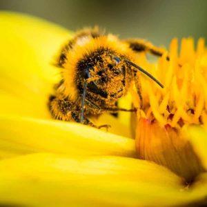 Biene in Pollen