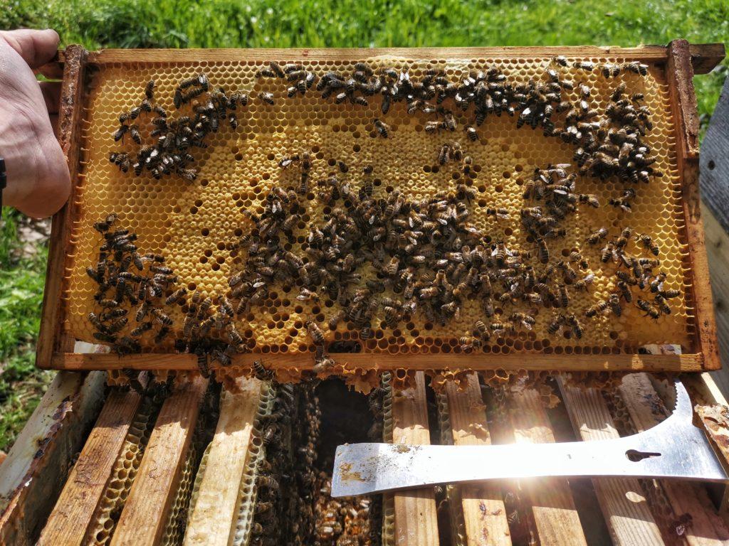 Burtwabe mit ansitzenden Bienen