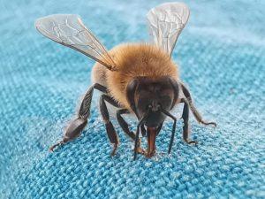Biene auf Tischdecke schleckt Honig